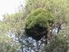 arbre-chenilles-sidi-maafa
